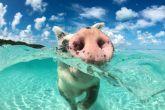Vid�o : les cochons profitent de la plage aux Bahamas