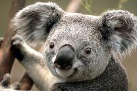 Australie  Koala mort retrouvé vissé sur un poteau