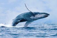 massacre de baleines au japon