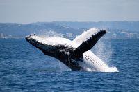 L'observation des baleines en Australie