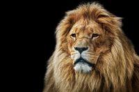 Disparition des lions d'Afrique en 2050 ?