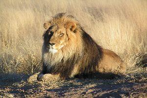 L�we t�tet Ranger im Nationalpark in Simbabwe