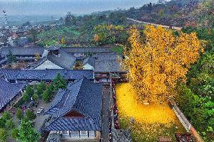 En Chine, un arbre mill�naire forme un oc�an de feuilles dor�es