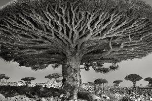 So majestätisch sind die ältesten Bäume der Welt