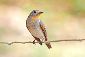 uno dei contest di canto uccelli thailandia più grandi