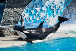 Seaworld releases information new orca programme focus wild