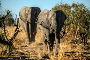 Elephants clever way to avoid poachers