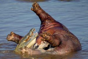 Requins, léopards, crocodiles, les animaux les plus féroces de la planète