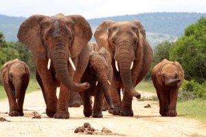elefantes africanos saben evitar a los cazadores furtivos