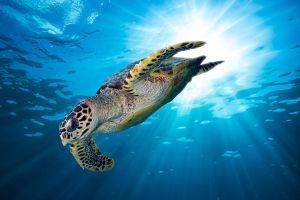 Grande Canarie  des kayakistes sauvent une tortue coincée dans un déchet