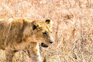 tanzania safari e viaggio nella riserva del cratere ngorongoro