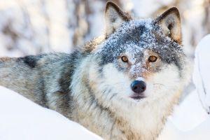Polar Park  le nouveau parc à loups de Norvège
