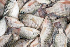 Das leise Sterben im See Manchar