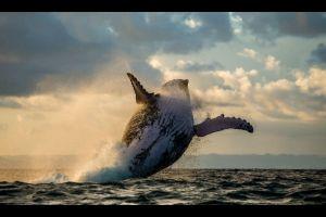 Chile Beherzte Familie rettet Walfisch