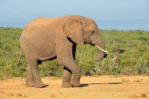 Des éléphants portent des pulls pour se protéger du froid en Inde