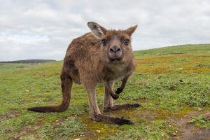 Kangeroo Island - Ein Paradies für Tierfreunde und Naturliebhaber