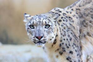 Un plan de protection de 4 ans pour protéger les léopards au Népal