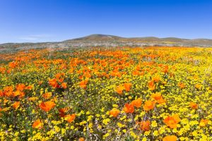 California poppy blooms antelope valley under average for 2017
