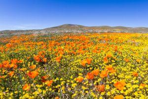 Antelope Valley Blütenmeer in Kalifornien