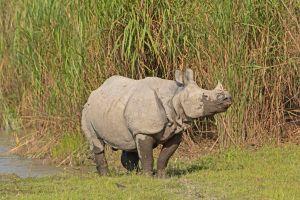 Pour protéger les rhinocéros on tue les braconniers en Inde