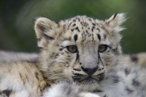 Le Kirghizistan veut sauver le léopard des neiges avec la création d'un sanctuaire