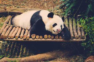 An diesen 3 Orten können Sie Pandabären hautnah erleben