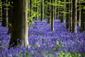 hallerbos el magico bosque azul de belgica