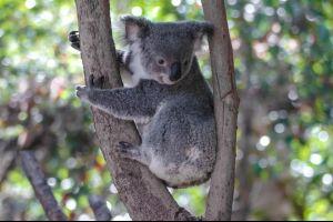 Australien Mann rettet Koalas vor dem Verdursten