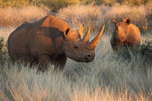 L'Afrique du Sud rend légale la vente de corne de rhinocéros