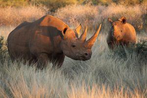 Verkauf der Hörner von Nashörnern in Südafrika legal