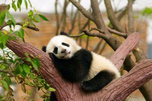 Japon le zoo de Tokyo accueille un bébé panda
