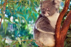 alarma debido a la deforestacion estos koalas se encuentran en la calle