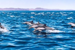 les dauphins reviennent nager vers Marseille
