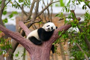 The first 100 days in the life of a panda