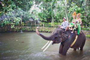 los elefantes turísticos de tailandia viven en condiciones deplorables capturados y bajo tecnica phajaan
