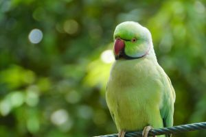 The Curious Case of Amsterdam's Parakeets