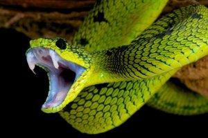 lebende Schlange im Gepäck geschmuggelt