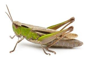 Jiminy Cricket! Finnish bakery to sell crushed cricket bread