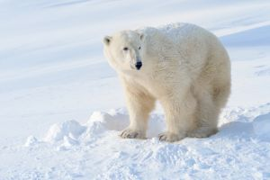 An emaciated polar bear becomes the newest symbol of the horrific effects of global warming