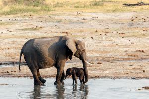 vidéo la naissance d'un éléphant sauvage