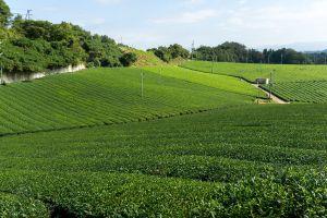 Shizuoka patria di Tokugawa Ieyasu tra tè verde e wasabi