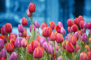 Olanda in fiore giornata nazionale del Tulipani