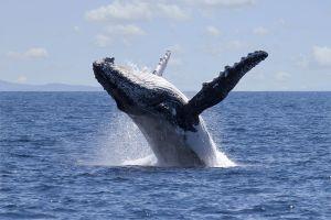 Une baleine sauve une nageuse attaquée par un requin