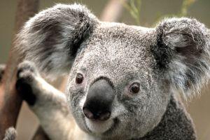 Cruauté animale : un Koala est retrouvé mort, vissé à un poteau en Australie