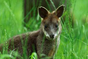 Vidéo : Sauvetage d'un wallaby dans le port de Sydney