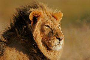 Afrique du Sud  des lions auraient tué un braconnier