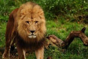 Ein Mann wird vielfältig  von Löwen verschlungen