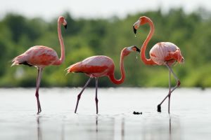Bahamas: servono guardiani di fenicotteri