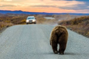 video ours grizzli balade route créé embouteillage