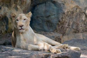 Une jeune femme de 22 ans tuée par une lionne